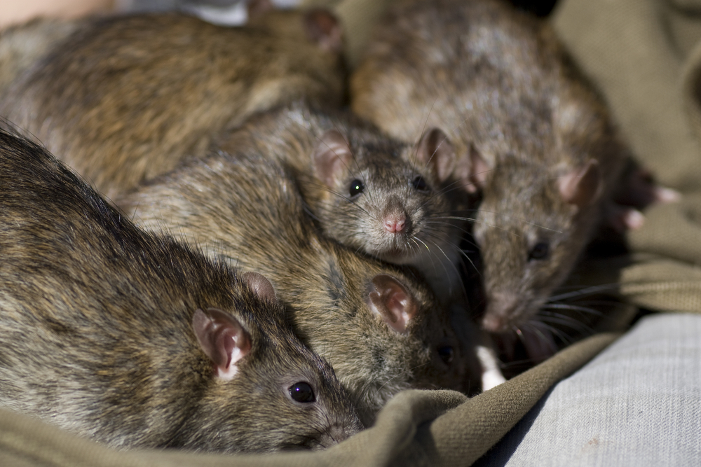 L'invasion des rongeurs en hiver : rats et souris