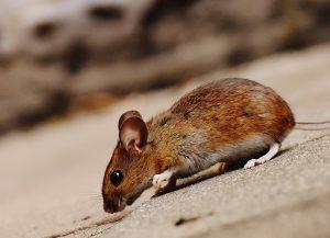 Invasion souris rats