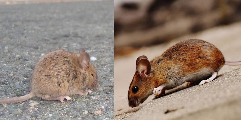 Les produits pour lutter contre rats et souris