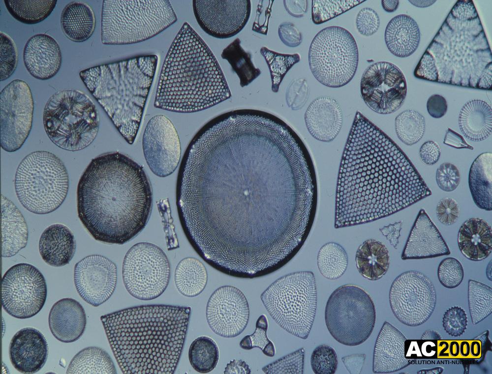 Bacillariophyta (Diatomées)
